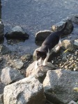 Thirsty Serbian cat next to the Danube
