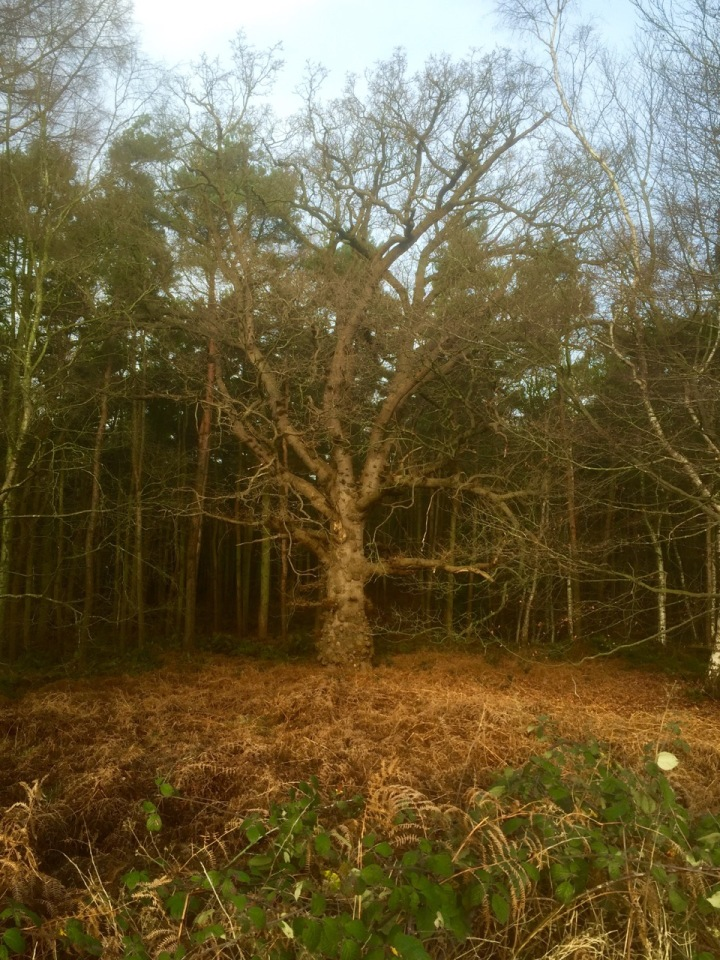 Wise old Oak amongst upstart pines