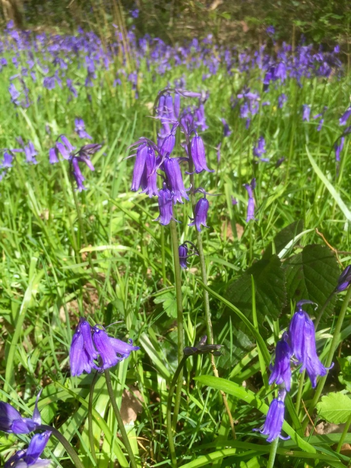Pretty sure this is a native Bluebell and not it's Spanish cousin