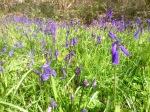 Celandines hidden amongst the Bluebells