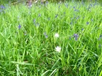 Stitchwort (probably) - white between the blue