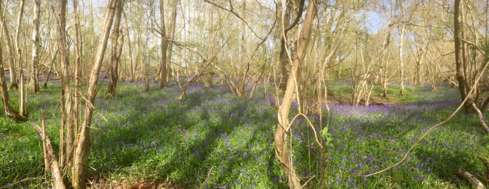 Bluebell Panorama