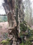 A venerable Silver Birch