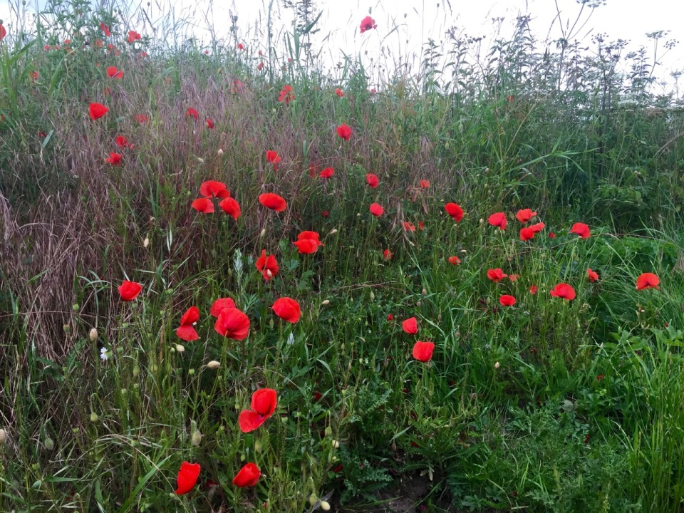 Faerie fortresses amongst the poppies