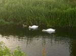 Swans checking for trolls underwater