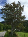 Rowan/Mountain Ash - lots of it about in these parts