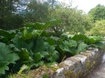 Giant Rhubarb; probably not very edible