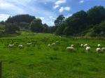 Sheep alert!