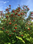More Rowan berries