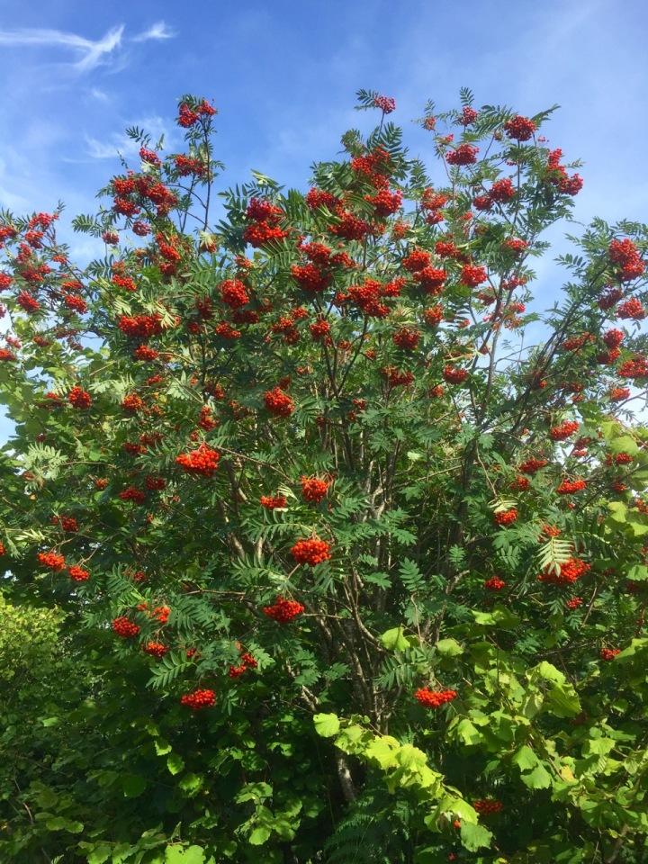 More Rowan berries