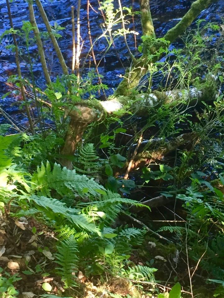 Tree felled by beaver activity