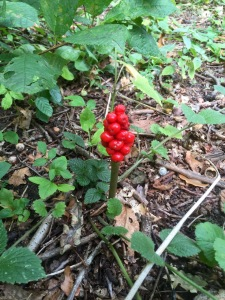 Jack-in-the-Pulpit...I think...and a bit poisonous so not good forage