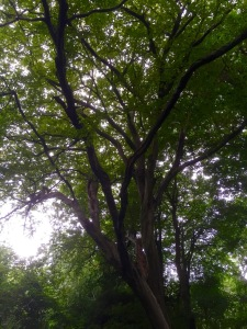 Beech trees providing a glorious canopy