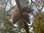 Pine cones and spiders
