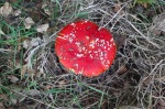 Fly Agaric - not recommended eating