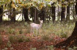 Nervous Fallow deer doe
