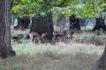 Stags gorging themselves on natures bounty (chestnuts)