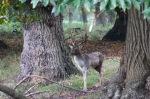 Posing stag 1 (Fallow deer)