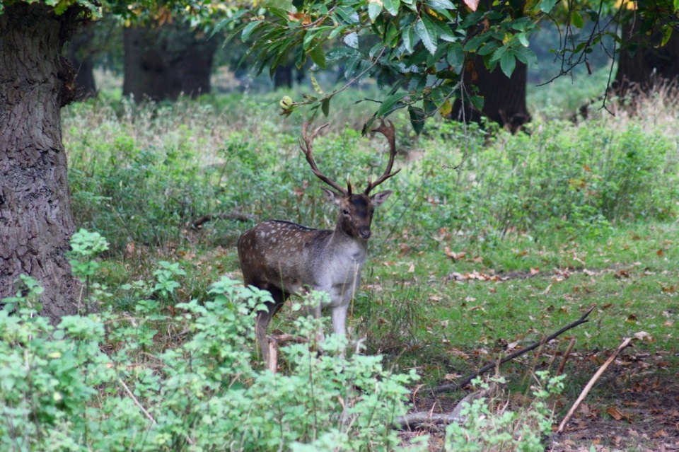 Posing stag 2