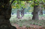 Posing stag 3