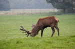 Boss stag (Red deer)