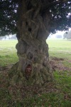 Twisted Holm Oak