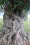 Looks like someone clinging on to this oak - a trapped soul in anguish?