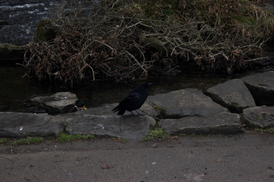 Hungry crow