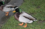 Mallard 1, ready to pounce