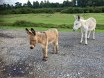 New Forest - donkeys after my sandwiches