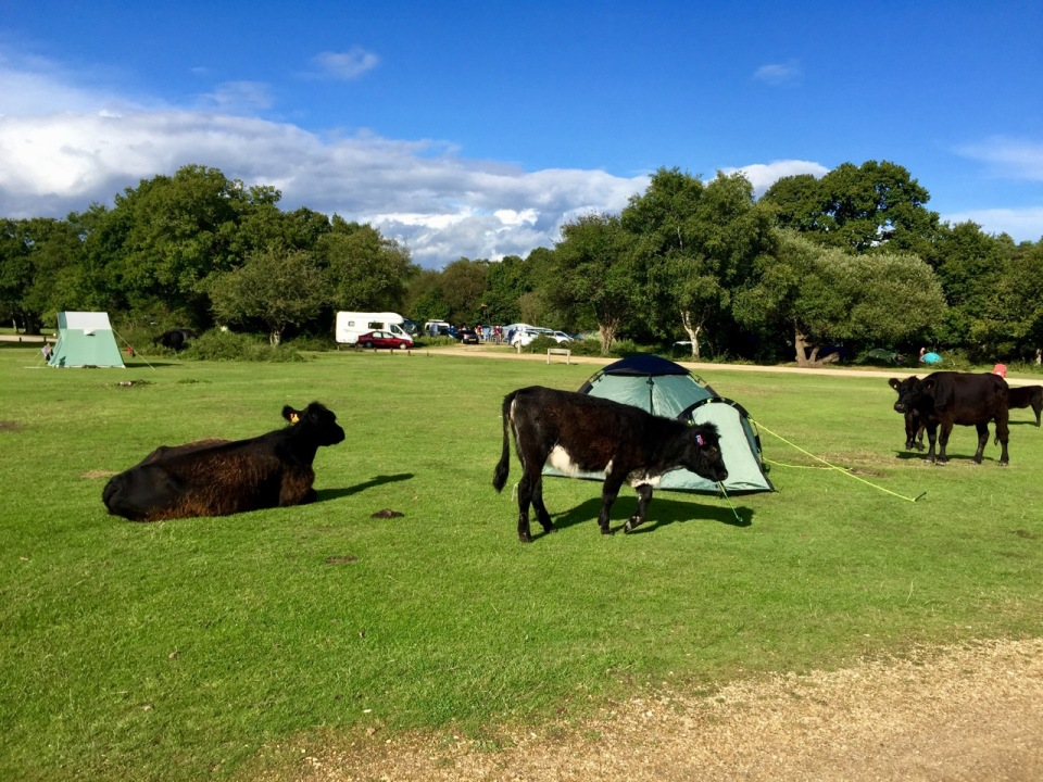 New Forest - Ashurst campsite - tents under siege by cows