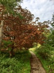 Autumn colours - although horse chestnuts always early due to the moth damage