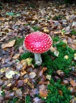 Fly Agaric - striking, but not to be tasted