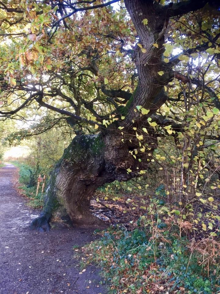 Veteran oaks stand guard