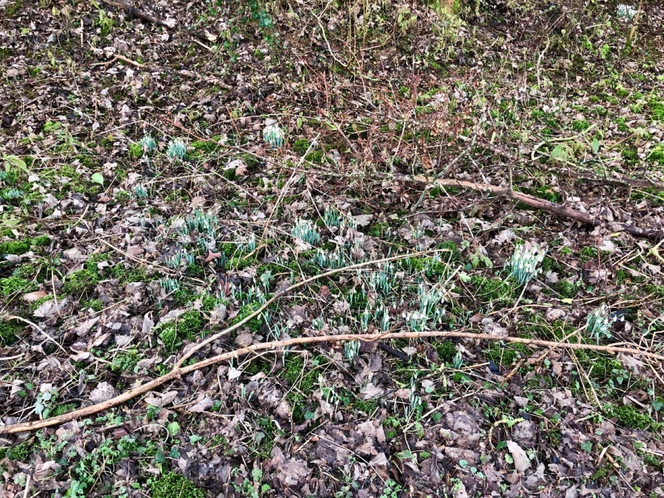 Snowdrops appearing