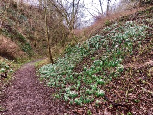 Snowdrop covered bank