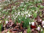 Snowdrops awakening for the day