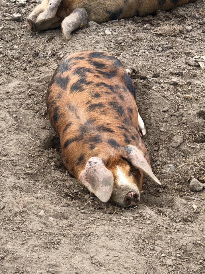 Kerrera Island pigs 1
