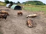 Kerrera Island pigs 2