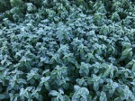 Nettles in the year's first frost
