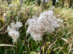 Fluffy seed heads perfect for tinder or coal extender