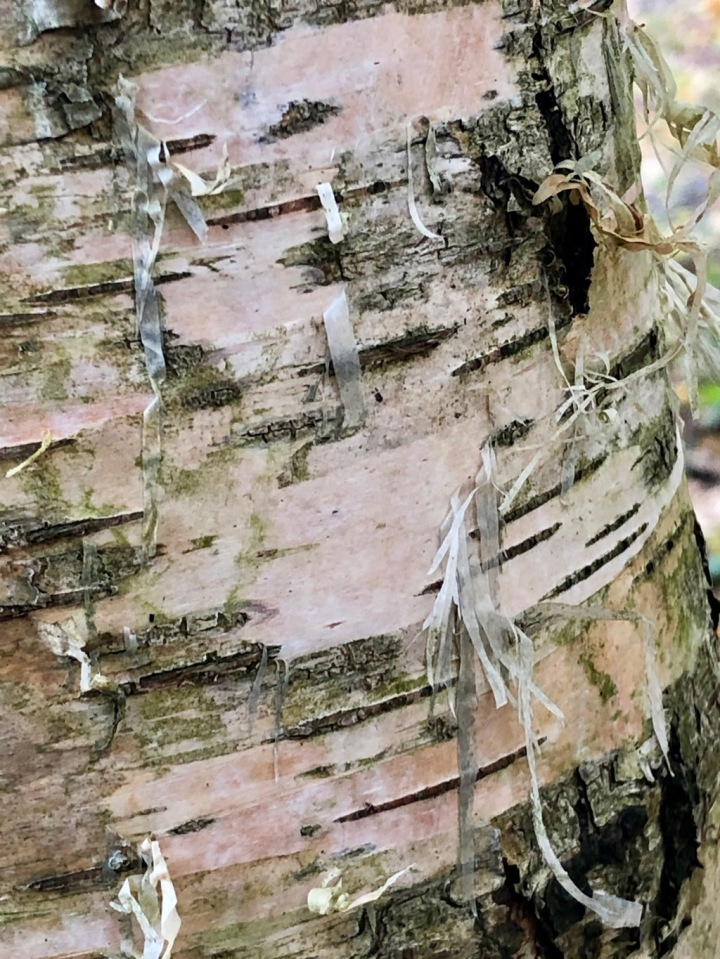 Birch bark - only take the outer peeling bits
