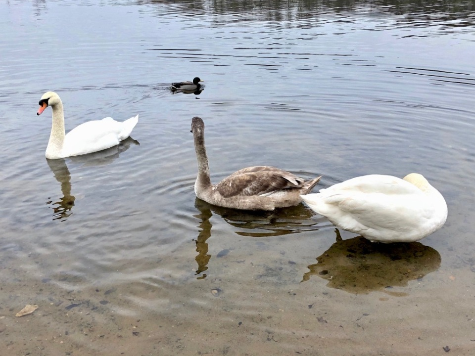 Adult swans keeping watch over their youngster