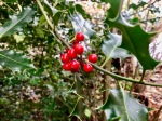 Holly bearing berries
