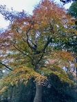 Beech tree bedecked in yellow and gold