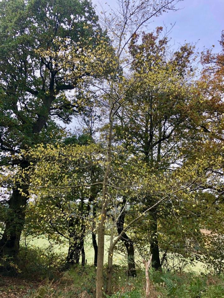 Elm trees hiding amongst the oaks
