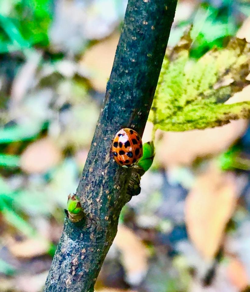 Ladybird looking for somewhere to hibernate