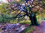Veteran Oak overlooks swampy ground