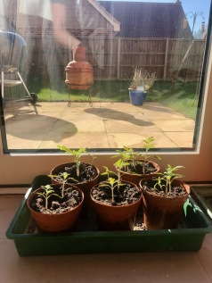 Tomato plants growing fast now