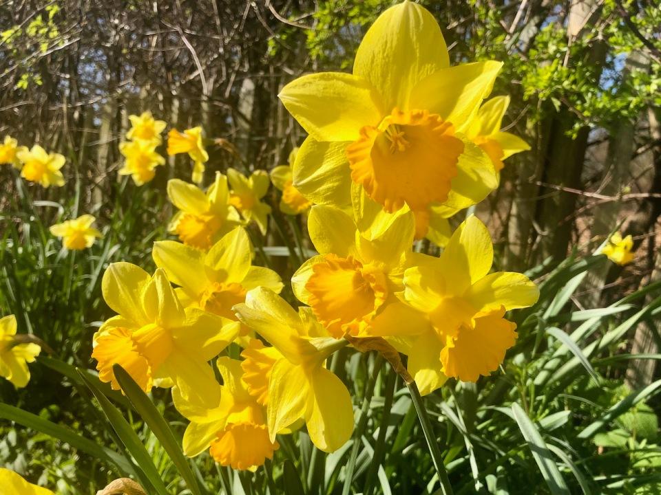Daffodils aplenty